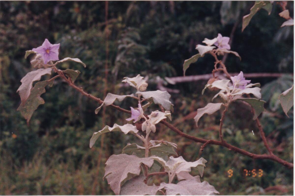 茄子の原種